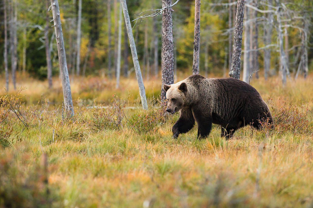 How fast can a bear run