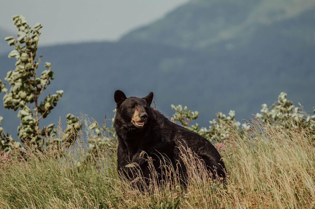 How fast can a black bear run