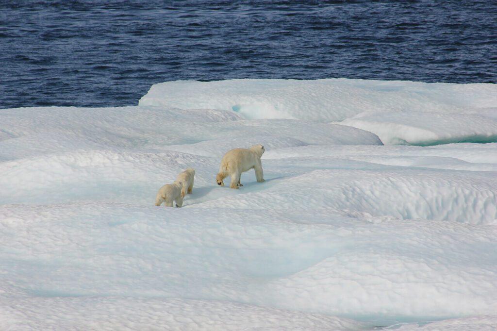 How fast can a polar bear run