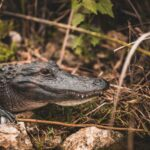 are there aligators at ginnie springs FL?